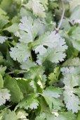 Coriander - Coriandrum sativum — Stock Photo