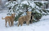 Stray dogs in the snow — Stock Photo