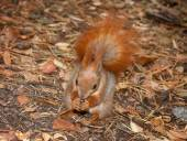 Red squirrel with walnuts — Stock Photo