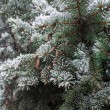 Winter frost on spruce christmas tree close-up — Stock Photo #60267337