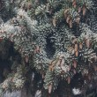 Winter frost on spruce christmas tree close-up — Stock Photo #60267353
