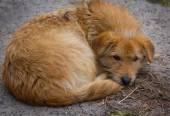 Homeless red dog — Stock Photo