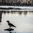 Постер, плакат: From the series crows mysterious