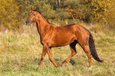 Horse running in the field — Stock Photo