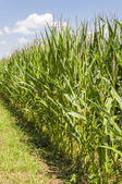 Cultivation of maize — Stock Photo