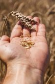 Grains of wheat — Stock Photo