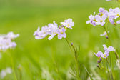 Cardamine pratensis L. (cuckooflower, lady's smock) - flowers — Stock Photo