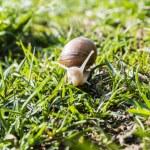 Helix pomatia (Burgundy snail, Roman snail, edible snail, escargot) — Stock Photo #71749149