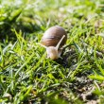 Helix pomatia (Burgundy snail, Roman snail, edible snail, escargot) — Foto de Stock   #71749149