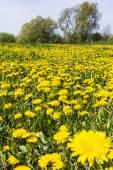 Taraxacum officinale (common dandelion, dandelion) on the meadow — Stock Photo