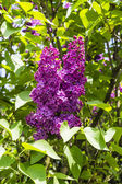 Syringa vulgaris (lilac, common lilac) - Inflorescence — Stock Photo