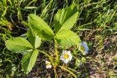 Blooming flower - garden strawberry (strawberry, Fragaria ananassa Duchesne) — Stock Photo
