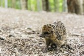 Hedgehog in a natural environment — Stock Photo