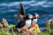 Pair of  puffins on a rock, Iceland — Stock Photo