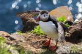 Puffin wants to fly, Iceland — Stock Photo