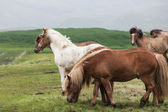 Iceland. Horses in the meadow — Stock Photo