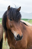 Icelandic horse close-up — Stock Photo
