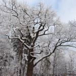 Old oak tree in winter park — Stock Photo #64851947