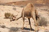 Camel going through the desert — Stock Photo