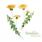 Watercolor, dandelion plant — Stock Photo