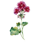 Watercolor flowers geranium — Wektor stockowy