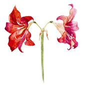 Watercolor lotus flowers — Stock Vector