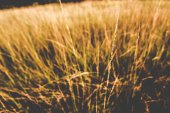 Grass when sunset with retro,vintage,cinematic filter — Stock Photo