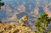 Grand Canyon Squirrel — Stock Photo