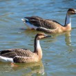 Two gray duck floating on water — Stock Photo #62833159