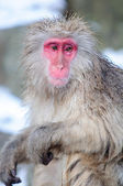 Relaxing Monkey in a natural onsen (hot spring) — Stock Photo