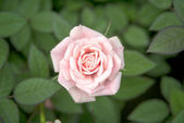 Pink roses on green leaf — Stock Photo