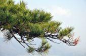 Japanese Pine - Stock Image — Stock fotografie