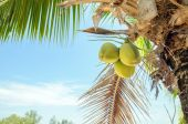 Coconuts with coconut tree — Stock Photo