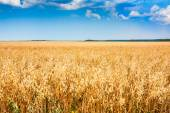 Rural wheat field with blue sky — Stockfoto