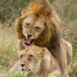 African Lions (Panthera leo) mating, South Africa — Stock Photo #58377339