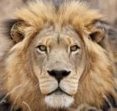 Male African Lion (Panthera leo) portrait — Stock Photo