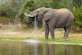 African Elephant Bull (Loxodonta africana) drinking, South Afric — Stock Photo