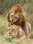 African Lions (Panthera leo) mating, South Africa — Stock Photo