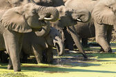 Herd of African Elephants (Loxodonta africana) drinking, South A — Stock Photo