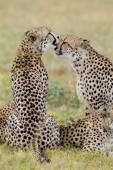 Cheetahs grooming, South Africa — Stock Photo