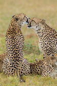 Cheetahs grooming, Soouth Africa — Stock Photo