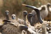 White Backed Vultures, South Africa — Stock Photo