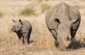 White Rhino with Baby, South Africa — Stock Photo