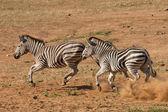 Burchell's Zebra running, South Africa — Stockfoto