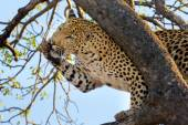 Leopard grooming, South Africa — ストック写真