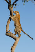 African Leopard climbing, South Africa — Stock Photo