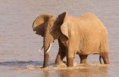 African Elephant (Loxodonta africana) crossing the Ewaso Nyiro R — Stock Photo