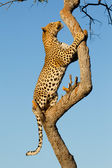Male Leopard climbing a tree, South Africa — Stock Photo