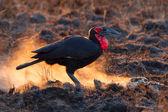 Groound Hornbill, Soouth Africa — ストック写真