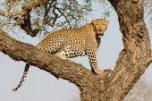 Male Leopard in tree, South Africa — Stock Photo